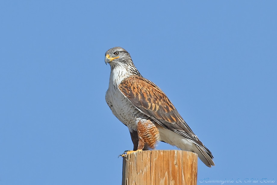 Ferruginous-Hawk-010612-6