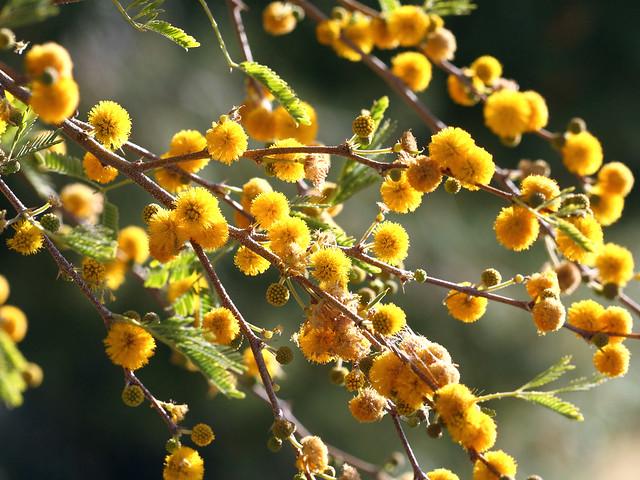 Sunny Morning Acacia Flowers