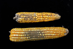 Thu, 06/21/2007 - 11:48 - Fusarium (top) and Aspergillus (bottom) colonized maize cobs. Photo by IITA. (file name: MA_PD_020).
