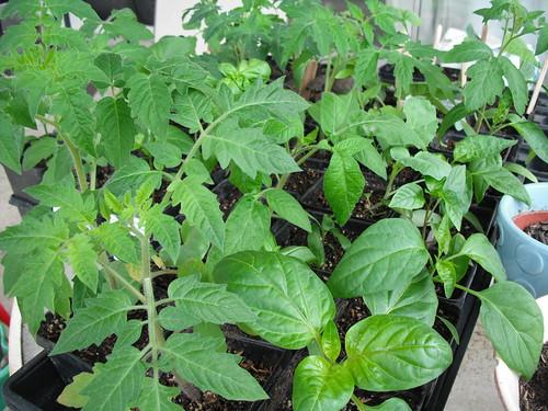 Seedlings by jenniferworthen