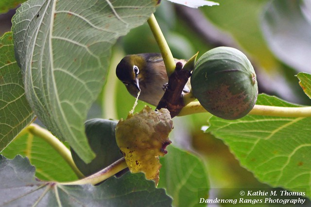 Silvereye enjoying a fig