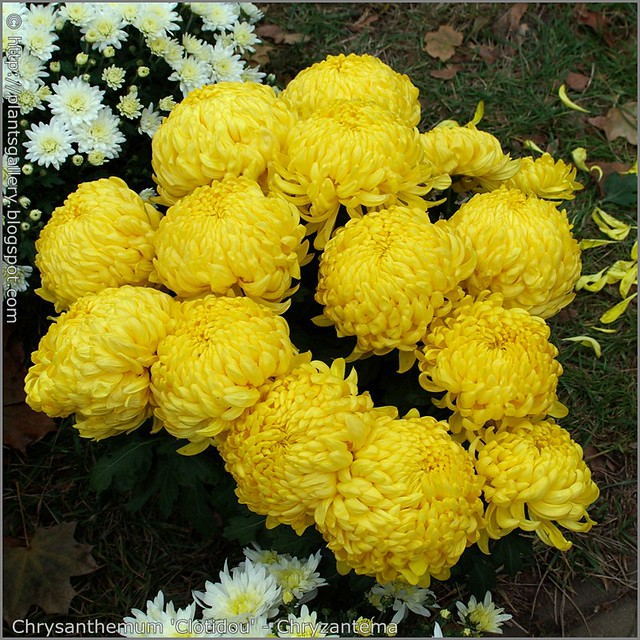 Chrysanthemum 'Clotidou' - Chryzantema