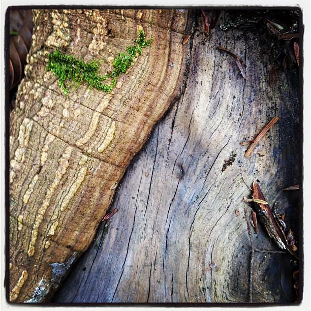 Hemlock root