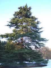 christmas tree(0.0), larch(1.0), evergreen(1.0), branch(1.0), pine(1.0), tree(1.0), biome(1.0), fir(1.0), spruce(1.0),