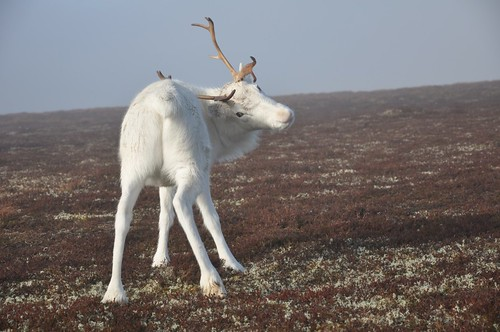 Reindeer; now where's that itch!