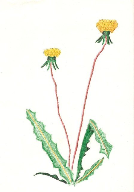 Drawings Of Dandelions