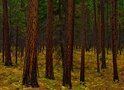 Ponderosa Pine forest, autumn