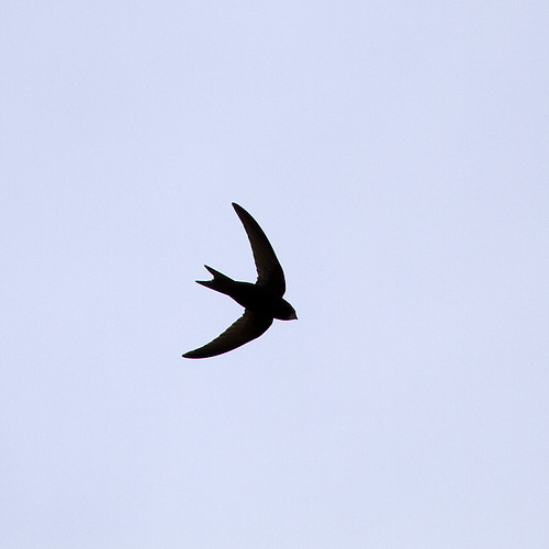 Common Swift (Apus apus) silhouette