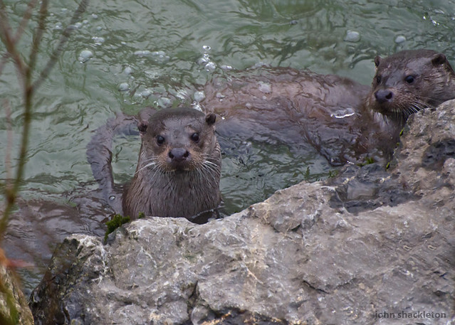 2 Nutria / 2 Otters (lutra lutra)
