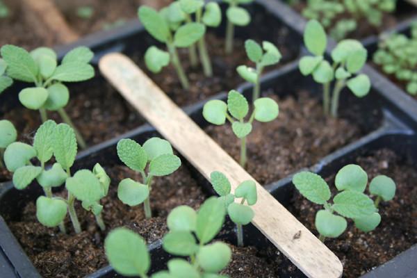 sage_growing