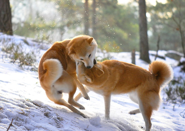 Shibas playing #2