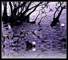 Waterlilies-1.jpg