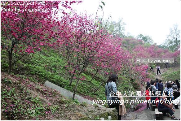 台中市北屯_大坑濁水巷櫻花林20120225_I2743