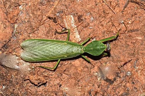 Rhombodera sp. (Mantidae)