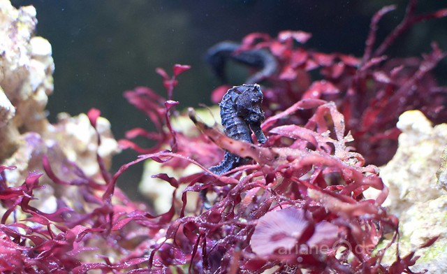 Striped seahorse father