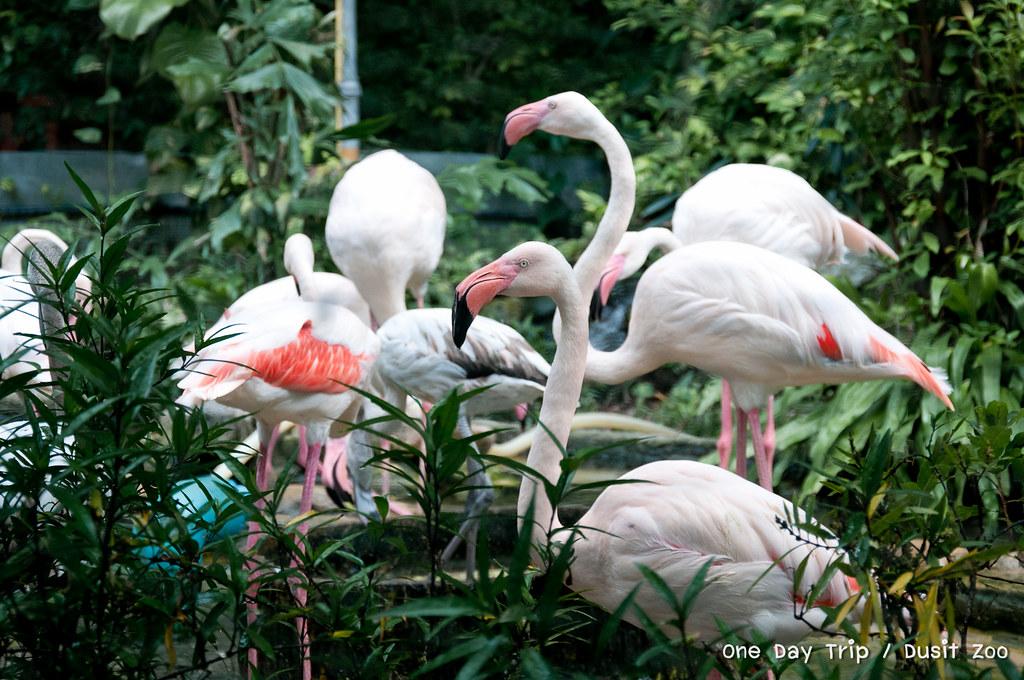 Dusit zoo - นกฟลามิงโก