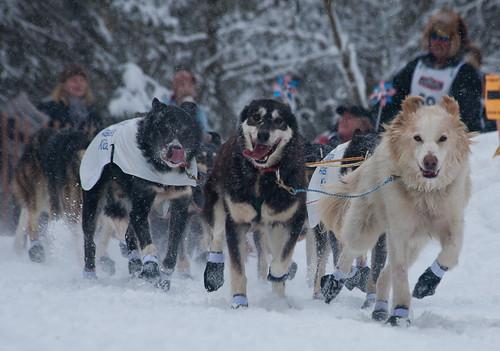 Iditarod Start 2012 - Sonny Lindner - (c) Alaskan Dude