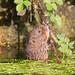 Water Vole (Arvicola terrestris) 24 Apr-12-49545.jpg by tim stenton www.TimtheWhale.com