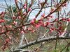 Red Haven peach bloom