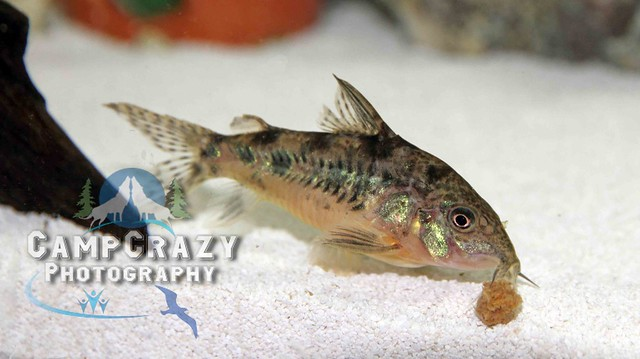 Leopard Cory (Corydoras julii) - The Free Freshwater and ...