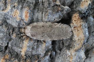 Agonopterix heracliana_ciliella