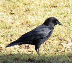 eurasian magpie(0.0), blackbird(0.0), rook(0.0), animal(1.0), wing(1.0), crow(1.0), fauna(1.0), american crow(1.0), beak(1.0), bird(1.0), wildlife(1.0),