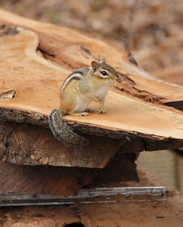 Chipmunk on the cherry pile