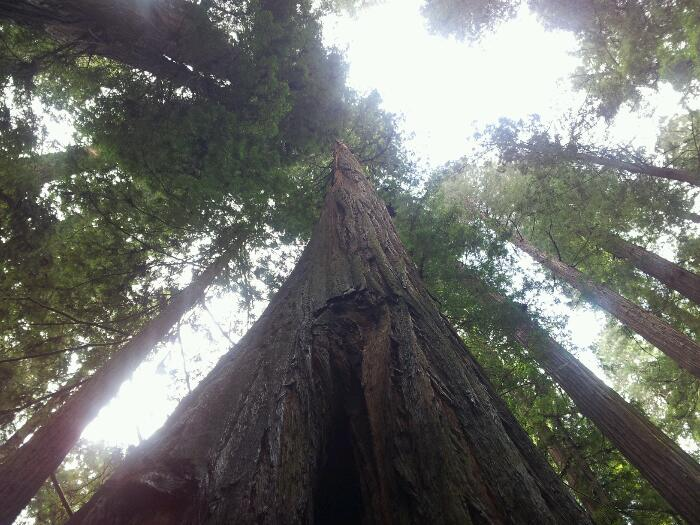 Big Redwoods