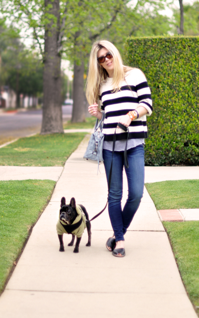 jeans and a sweater-french bulldog