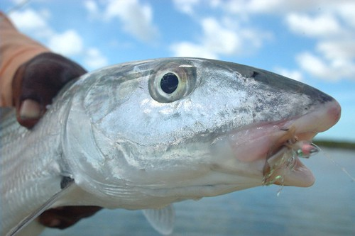 South Andros Bonefish