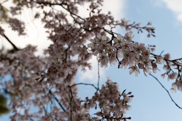 京都御苑 近衛邸跡の糸桜