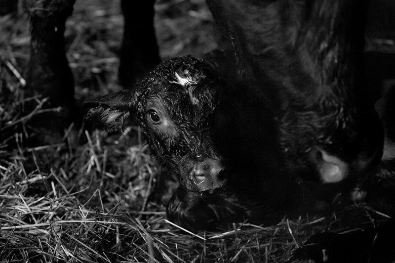 120215_calf_birth_blog_02