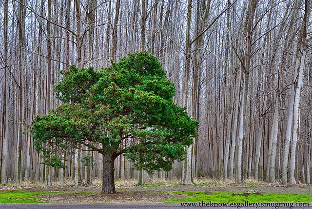Lone Pine in a tree Farm from Flickr via Wylio