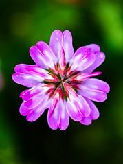 [フリー画像素材] 花・植物, ゲンゲ・レンゲ ID:201204260600