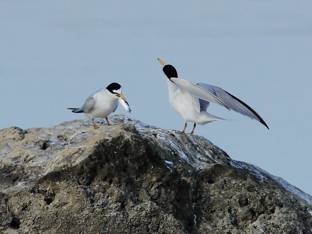 Least Tern courtship 4-20120419