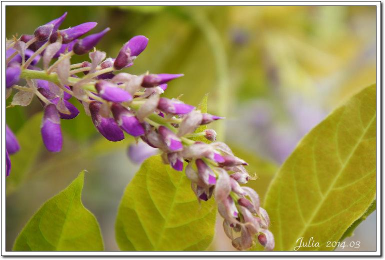 紫藤、老梅 (10)