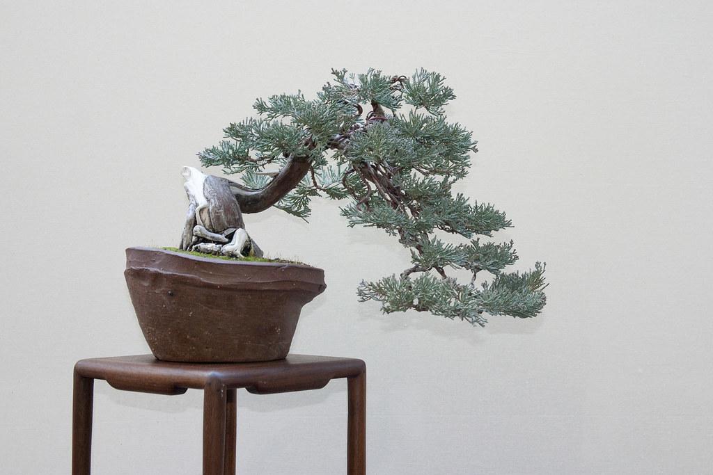 Blue Rug Juniper Bonsai 61