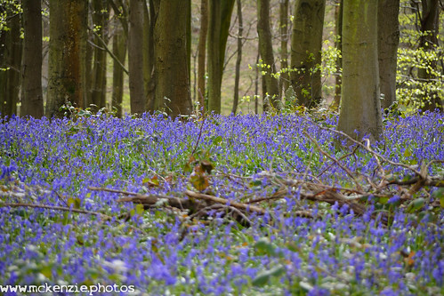 bluebells at denge woods
