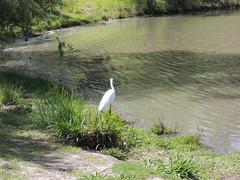 Great Egrett Milpitas CA (14)