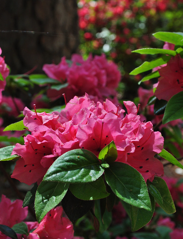 Rhododendron 'Rosy Frills' (2)