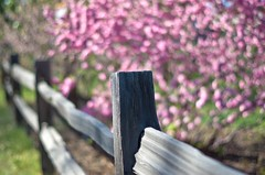 Beautiful Blossom Fence