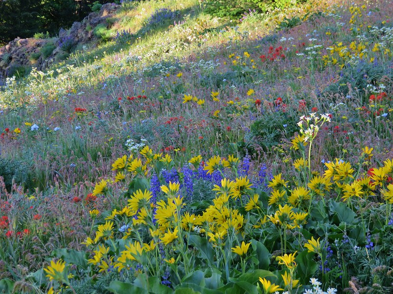 Paintbrush, lupine, balsamroot and other flowers in the lower meadow