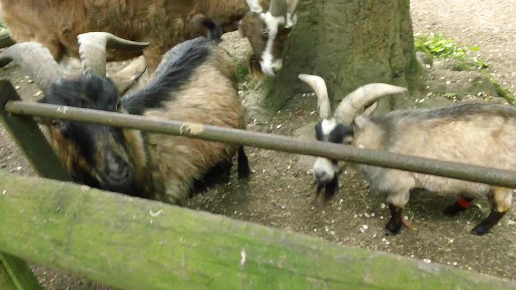 Goats, scene & herd Kent