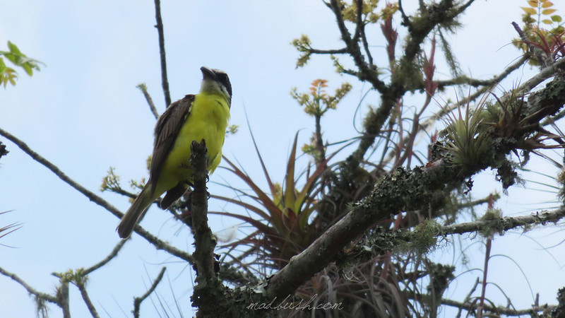 Boat-Billed Flycathcer (Megarynchus pitangua Ocosingo) Chiapas