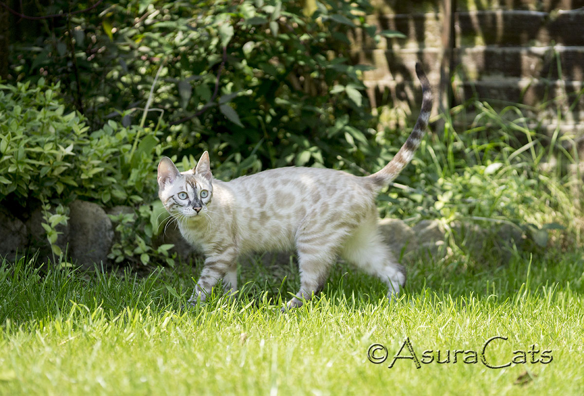 AsuraCats Shiya - Seal Lynx point Charcoal Apb/Apb Bengal kitten