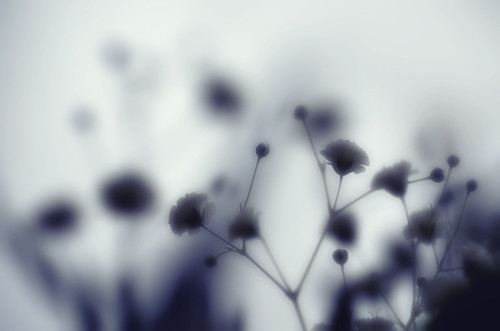 無料写真素材, 花・植物, かすみ草・カスミソウ