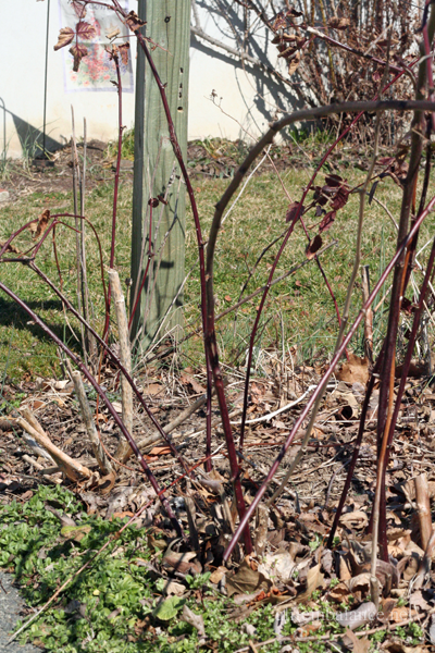 raspberry_pruning
