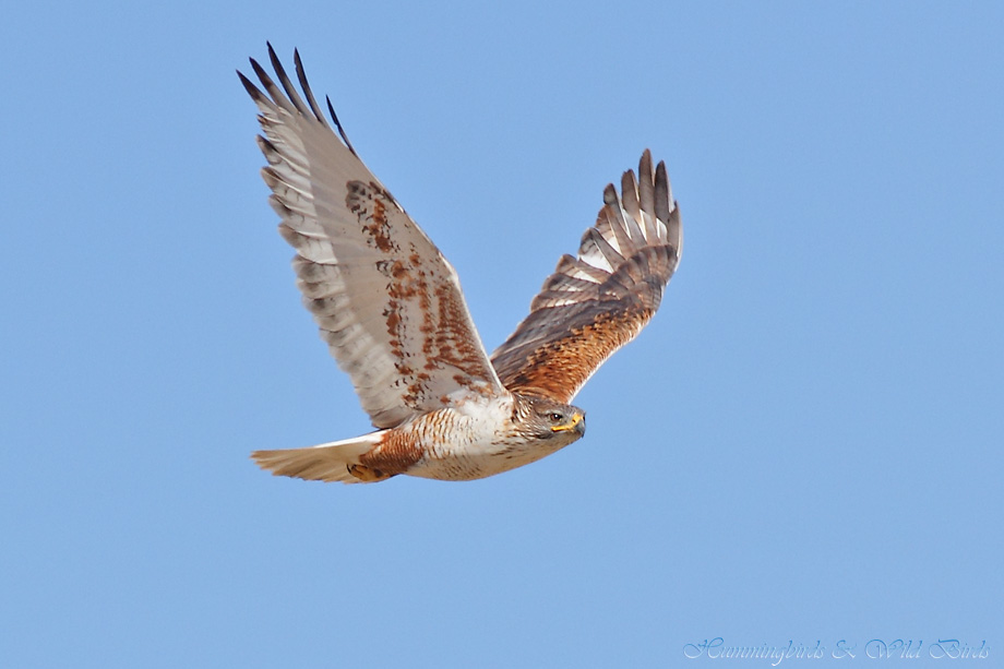 Ferruginous-Hawk-010612-7