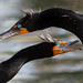 Young Cormorants in Love