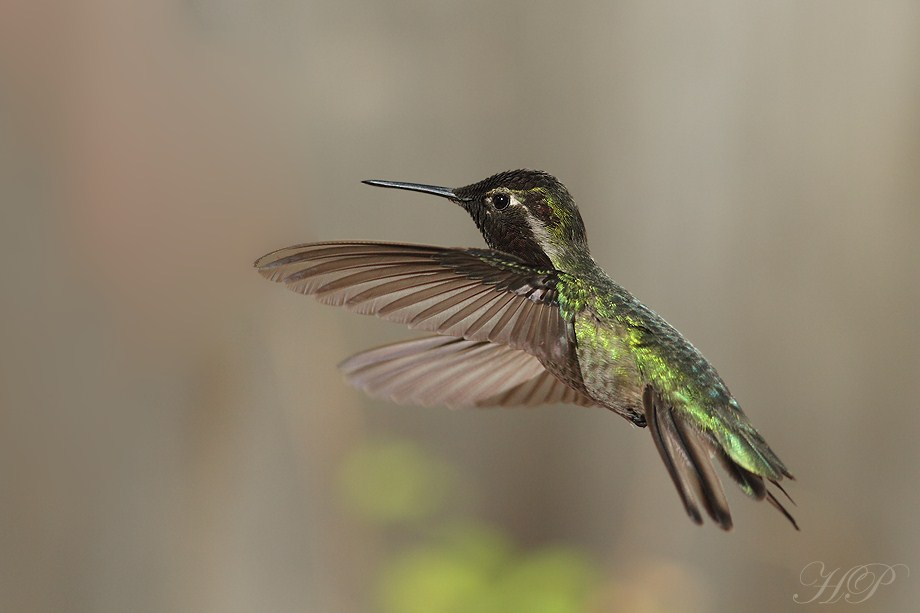 Anna's Hummingbird 020812-5